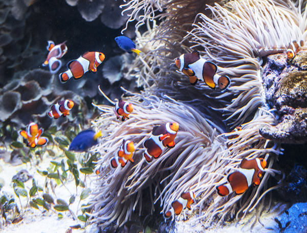 Clown Fish at Vancouver Aquarium -- J. Ferguson