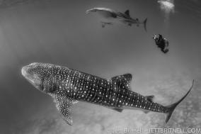 Philippine whale sharks