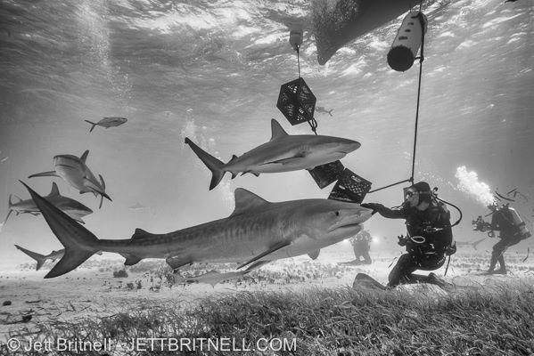 sharks Britnell, bcatw.org