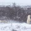 Polar bears in Churchill MB